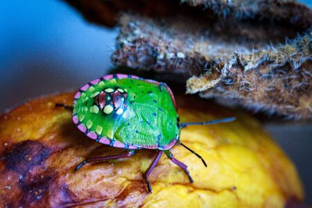 Nezara viridula Green beetle pest of gardens spoiling leaves and fruits of fruits vegetables tomato pepper. Polyphage. The bug reduces productivity, delays the development of plants. Zdjęcie Seryjne