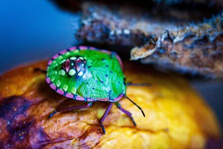 Nezara viridula Green beetle pest of gardens spoiling leaves and fruits of fruits vegetables tomato pepper. Polyphage. The bug reduces productivity, delays the development of plants. Stock fotó