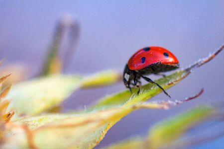 Macro of ladybug on a blade of sunflower n the morning sun Imagens - 131775032