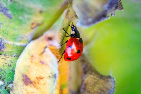 Macro of ladybug on a blade of grass in the morning sun Ladybug - bug. Natural insecticide that destroys pests of crops. A closeup of a ladybug.
