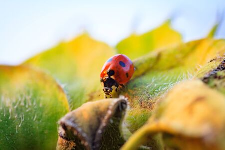 Macro of ladybug on a blade of grass in the morning sun