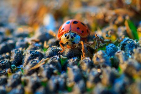 Bright red dotted ladybug on ripe black sunflower seeds in a farmers field in summer. Ladybug - bug. Natural insecticide that destroys pests of crops. A closeup of a ladybug.