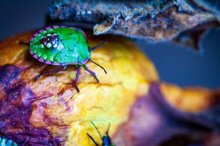 Nezara viridula Green beetle pest of gardens spoiling leaves and fruits of fruits vegetables tomato pepper. Polyphage. The bug reduces productivity, delays the development of plants. Imagens