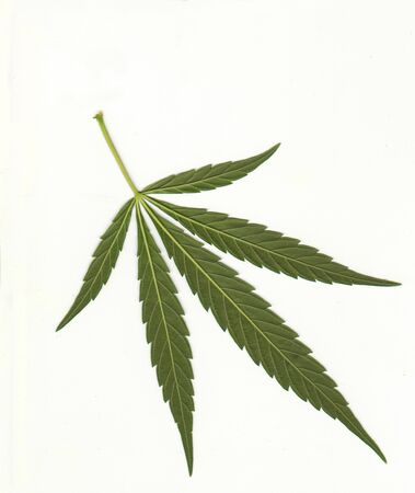 Leaves of medical marijuana on a white background for the treatment of spasticity in multiple sclerosis Imagens