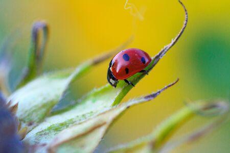 Macro of ladybug on a blade of sunflower n the morning sun
