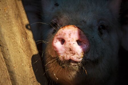 A little pig shows his round pink nose a little piglet with two holes sticking it out of the cage stall Reklamní fotografie - 137777120