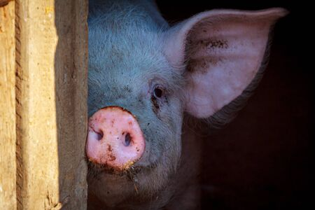 A little pig shows his round pink nose a little piglet with two holes sticking it out of the cage stall Reklamní fotografie - 137779086