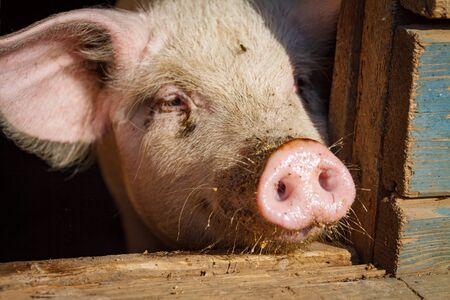 A little pig shows his round pink nose a little piglet with two holes sticking it out of the cage stall Reklamní fotografie - 137994232