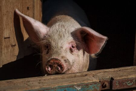 A piglet with a pink nose, a piglet peeps out of a house on a pig farm waiting for food for the holiday