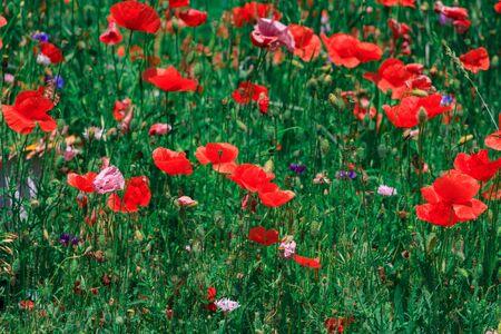 Prado de verano con amapolas rojas Campo de silvestres de diferentes especies de colores rojo púrpura amarillo que crece al aire libre en un entorno natural bajo el cielo abierto