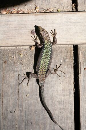 A small lizard with a tail basks in the sun in the summer sitting on wooden boards in the park
