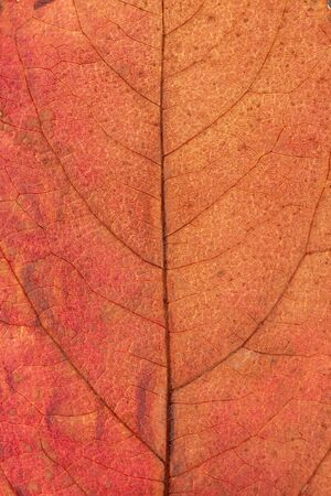 autumn leaves closeup. The skeleton of the leaves is translucent with visible veins and cells. Beautiful texture of dry autumn leaves of orange color.