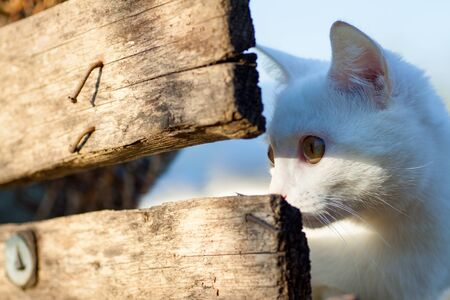 white Russian white cat breed hiding behind a fence watching and hunting for a mouse 写真素材