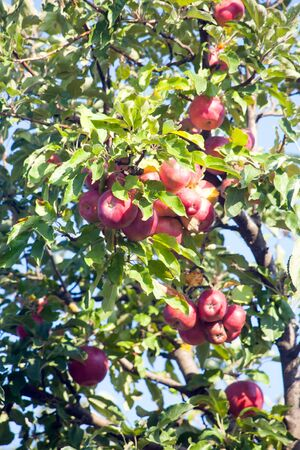 Ripe red Idared apples hang on a tree in the garden. Agricultural farm for growing apples. Harvesting ripe juicy apples from a tree.