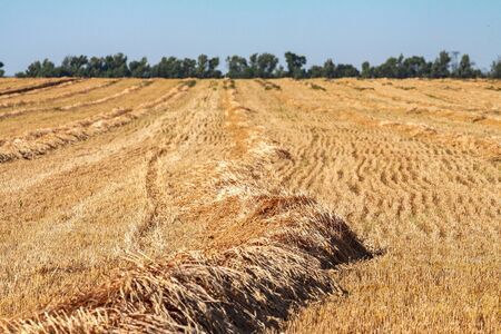 Mowed stalks of wheat ripen under the sun in the field until completely dry. Ripe wheat laid in rolls on a farmers field. Two-stage wheat harvest.
