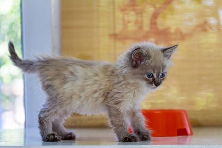 a homeless little fluffy kitten with blue eyes found on the street eats canned cat food from a plastic bowl 写真素材