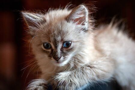 gray fluffy kitten on a black background is played jumping and biting. Favorite pet sits on the litter. Feline shelter.
