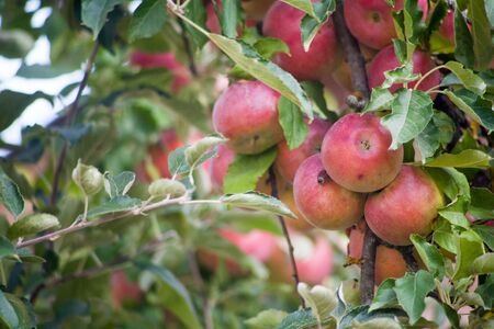 Ripe red Idared apples hang on a tree in the garden. Agricultural farm for growing apples. Harvesting ripe juicy apples from a tree. 写真素材