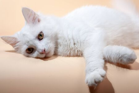 Beautiful cat with fluffy white pure color fur and yellow big eyes 写真素材