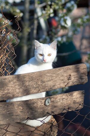 white Russian white cat breed hiding behind a fence watching and hunting for a mouse Stock Photo