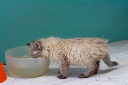 a homeless little fluffy kitten with blue eyes found on the street eats canned cat food from a plastic bowl Imagens