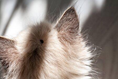 An ixodic infectious tick stuck to the head of a kitten. A tick bit a pet. Found a sucking viral tick among the dense hair of a cat.