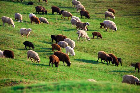 Flock of Sheep in a green meadow curiously looking at camera.