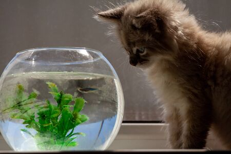 A beautiful fluffy kitten is hunting for a goldfish in an aqua rime. Friendship of a kitten and aquarium fish. Stock Photo