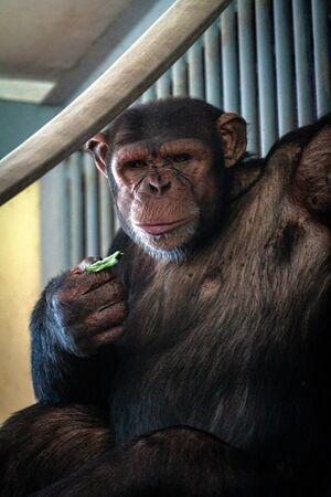 Big hairy monkey close-up. portrait of a pensive chimpanzee. Macaque on a tree eats leaves. Stock Photo