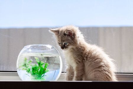 A beautiful fluffy kitten is hunting for a goldfish in an aqua rime. Friendship of a kitten and aquarium fish. Reklamní fotografie