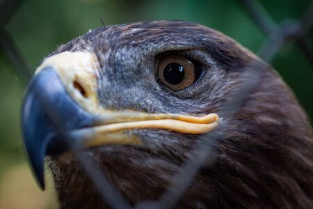 Adult golden eagle bird in a cage. Dangerous bird is a predator with a large beak behind bars. Golden eagle is the largest representative of the entire hawk family, a strong and large eagle