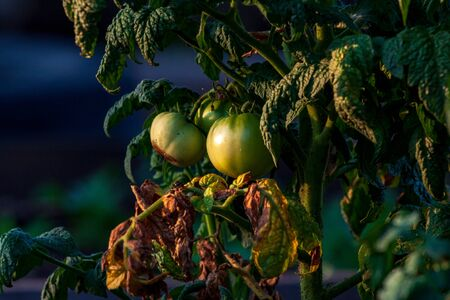 Bright yellow flowers of tomatoes over blurry background Rural Organic Growing Tomato