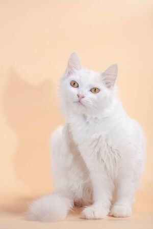 Beautiful cat with fluffy white pure color fur and yellow big eyes Reklamní fotografie