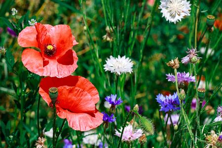 summer meadow with red poppies Field of wild of different colored species red purple yellow growing outdoors in a natural environment under the open sky