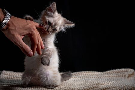 Baby cat playing with hand gray fluffy kitten on a black background is played jumping and biting. Favorite pet sits on the litter. Feline shelter.