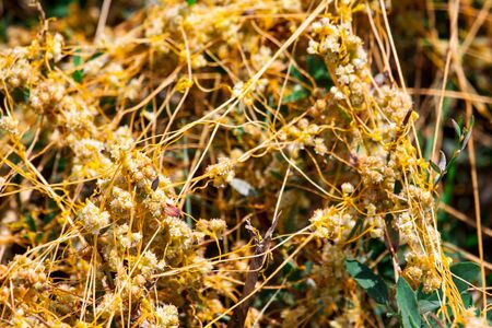 Dodder Genus Cuscuta is The parasite wraps the stems of plant cultures with yellow threads and sucks out the vital juice and nutrients