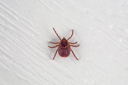 A true ixodid mite blood sucking parasite carrying the acarid disease sits on a On a white field on a hot summer day, hunting in anticipation of the victim