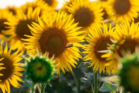 Blooming sunflower in a field with bright yellow petals against other sunflowers and a blue sky. In the field of sunflowers ripen the harvest of seeds.