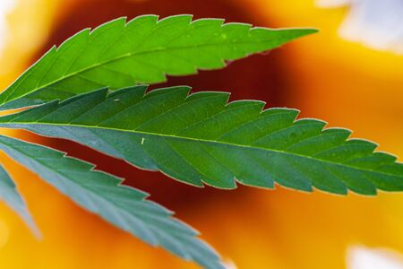 . Thematic photos of hemp and marijuana Green leaf of cannabis. background image. Bright green leaves of marijuana close-up with a distinct pattern and texture.