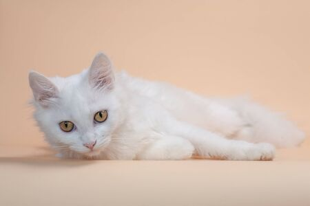 Beautiful cat with fluffy white pure color fur and yellow big eyes 版權商用圖片