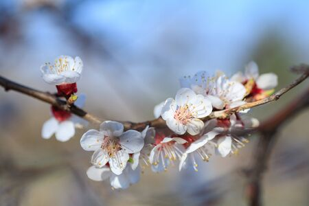 Branches of blossoming apricot macro with soft focus on gentle light blue sky background. For easter and spring greeting cards with beautiful floral spring abstract background of nature