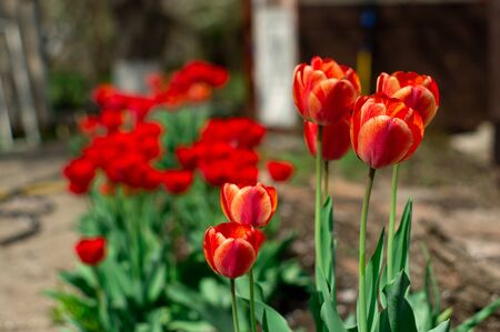 Group of colorful tulip. Real live red tulips blooming in early spring in the garden. lit by sunlight. Soft selective focus, tulip close up, toning. Bright colorful tulip photo background