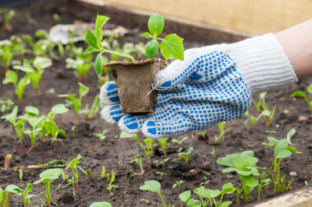 The gardener planted seedlings of cucumbers in the ground. Small plants of cucumbers grown in pots for planting in beds. Growing organic food in your garden.