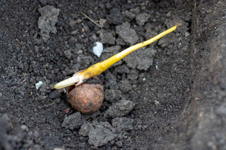 Walnut sprouted root and sprout through a crack. Planting a walnut tree in the garden. The gardener is planting seeds.