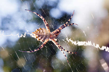 agriopa is a lobulated poisonous wasp spider of a terrible species painted in a black and yellow stripe. Dangerous garden spiders. Argiope lobata Standard-Bild