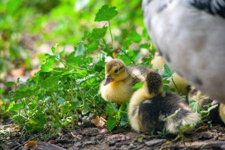 Peking duck with little ducklings.