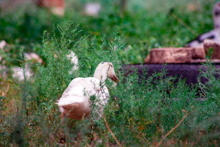 Domestic duck Duck on green grass In the household of a villager Standard-Bild