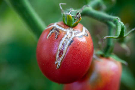 Tomato fruits damaged by bacterial disease. Moisture cracked tomatoes. Tomatoes dried up from pests. Standard-Bild