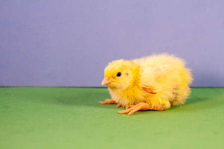 Little quail chick quail diseases. Newborn yellow chicken. Chick hatched from an egg.