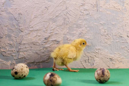 Newborn yellow chicken. Chick hatched from an egg. Chicks together with eggs background for the poultry farm. Imagens - 156756555